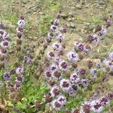 Wilepurpurblumen stockbild