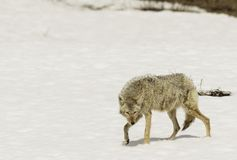 Wiley coyote in the snow. This coyote was hunting in the snow in yellowstone national park in the early spring stock images