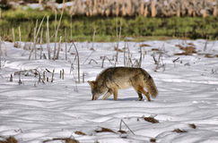 Wiley kojot przy Yosemite Obrazy Stock