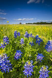 Wilflower Field in Palmer, TX Royalty Free Stock Photo