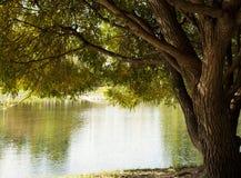 Wilg bij het water royalty-vrije stock fotografie
