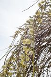 Wilg in bloei Stock Foto
