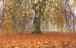 Wilg in de herfst Royalty-vrije Stock Afbeelding