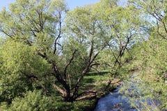 Wilg dichtbij de rivier Stock Afbeelding