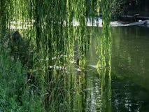 Wilg over de rivier stock videobeelden