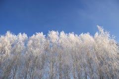 Wilg in vorstclose-up op achtergrond van blauwe hemel Stock Afbeeldingen