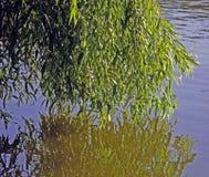 Wilg in water wordt weerspiegeld dat royalty-vrije stock afbeelding