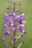 Wilgenroosje, Rosebay Willowherb, angustifolium Chamerion στοκ εικόνα με δικαίωμα ελεύθερης χρήσης