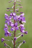 Wilgenroosje, Willowherb di oleandro, angustifolium di Chamerion immagine stock libera da diritti
