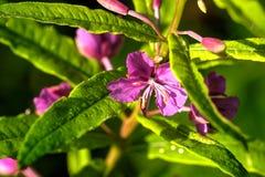 Wilgeroosje De bloem van het gebied stock foto's