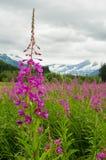 Wilgeroosje - Juneau, Alaska Stock Afbeelding