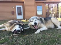 Wilków psy przy sztuką Zdjęcia Stock
