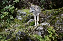 Wilk, lobo Imágenes de archivo libres de regalías
