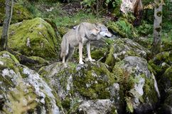Wilk, loup Photo stock