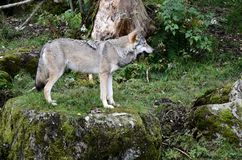 Wilk, loup Photographie stock