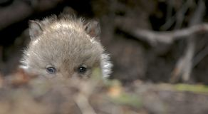 wilk młode Obraz Royalty Free