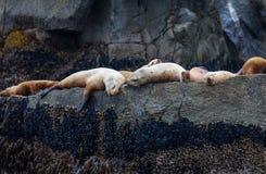 2 wilk morski Obraz Stock