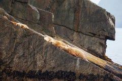 2 wilk morski Fotografia Royalty Free