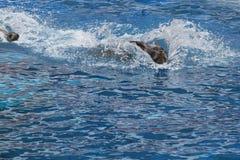 2 wilk morski Obrazy Stock