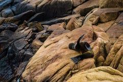 2 wilk morski Zdjęcie Stock