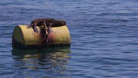 2 wilk morski zdjęcie wideo