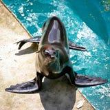 2 wilk morski foka Obraz Stock