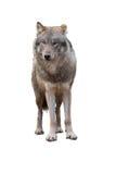 wilk od przodu na białym tle Obraz Stock