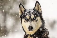 Wilk pod proszkiem fotografia stock