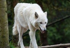 Wilk przy lasem zdjęcia stock
