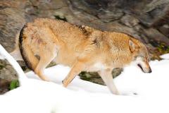 Wilk w śnieżnej rockowej górze, Europa Zimy przyrody scena od natury Śnieżna zima z wilkiem Szary wilk, Canis lupus, portret w zdjęcie stock
