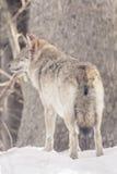 Wilk w śniegu, zwierzęca fotografia Obrazy Royalty Free