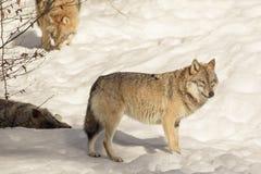 Wilk w śniegu, zwierzęca fotografia Zdjęcie Stock