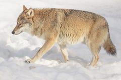 Wilk w śniegu, zwierzęca fotografia Obraz Royalty Free