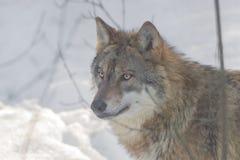 Wilk w śniegu, zwierzęca fotografia Zdjęcie Royalty Free