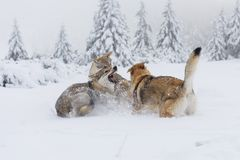 Wilk w świeżym śniegu zdjęcia stock