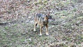 Wilk w drewnach zdjęcie wideo