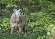 Wilk w lesie Fotografia Stock