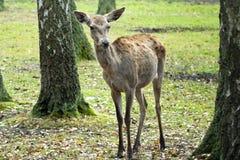 Wilk w lesie kłama na ziemi obraz stock