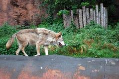 Wilk w Moskwa zoo cierpi od upału obraz royalty free