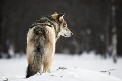 Wilk w śniegu Zdjęcia Royalty Free