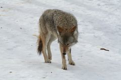 Wilk w Quebec Kanada, północny Ameryka obrazy royalty free