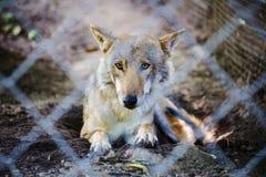 Wilk w więzieniu Obraz Stock