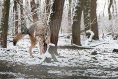 Wilk w wielkim outdoors Zdjęcia Royalty Free