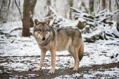 Wilk w wielkim outdoors Obrazy Royalty Free
