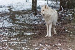 Wilk w wielkim outdoors Obraz Royalty Free