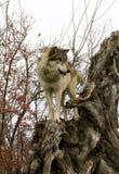 Wilk z Czerwonymi Jagodami w Tle Zdjęcia Royalty Free