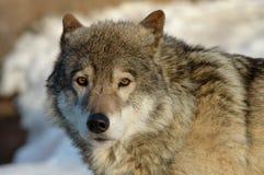 wilk z drewna Obrazy Stock