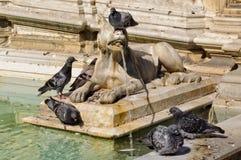 Wilk z gołąbkami - Siena Obrazy Royalty Free