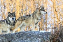 Wilki na polowaniu Zdjęcie Royalty Free
