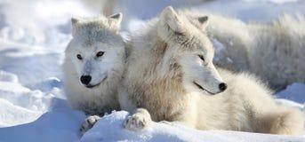Wilki odpoczywa podczas zimy Zdjęcia Stock